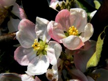 Apple Blossom 'Lord Lambourne'