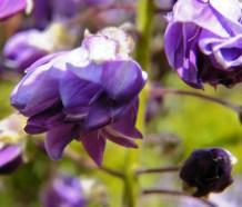 wisteria floribunda 'Yae-kokuryu'