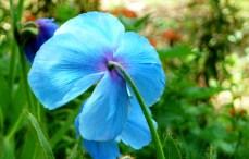 B = Blue poppy 2