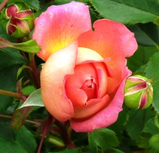 pink at Bodnant 4