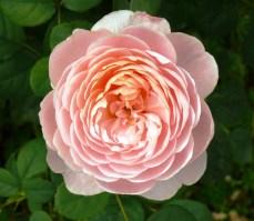 pink at Bodnant 5