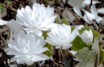 Sanguinaria canadensis f.multiplex
