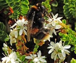 Bee enjoying the Hebe