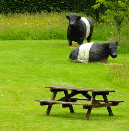 Galloway cattle in the play area