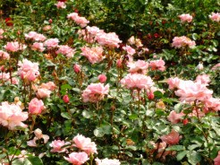 Floribunda-Rosa-'-Valentine-Heart'