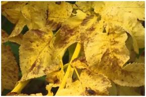 Yellowing leaf