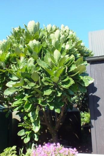 Meryta sinclairii (puka or pukanui)