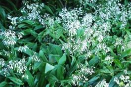 Renga renga Lily (Arthropoduim cirratum)