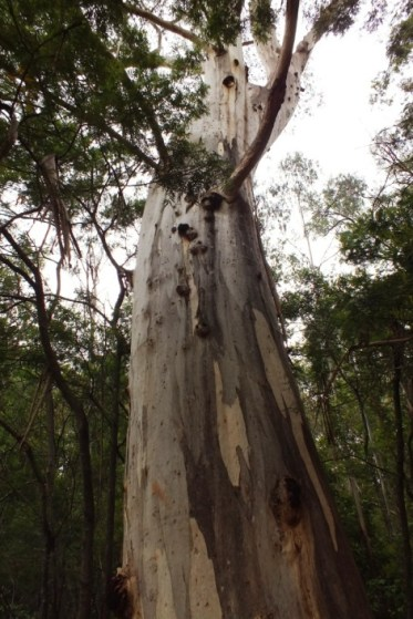 Eucalyptus cypellocarpa - Monkey Gum