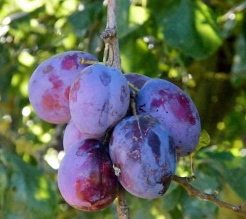 kent-plums-(1)