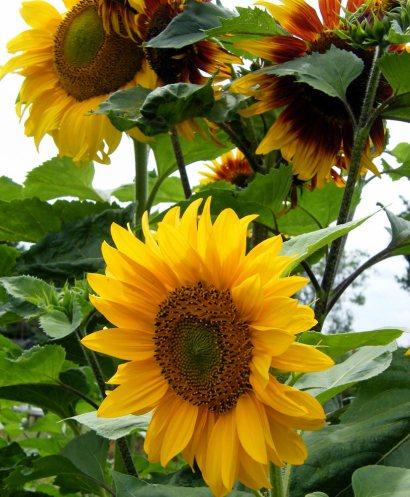 sunflower-(1)