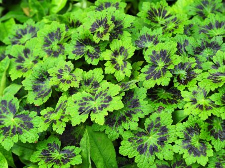 Geranium phaeum 'Samabor' not in flower