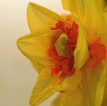 5--minutes-daffodils (12)