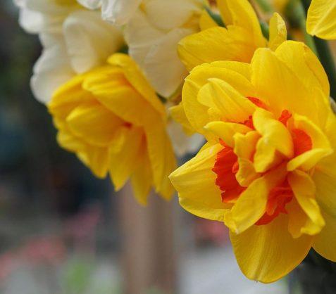 5--minutes-daffodils (4)
