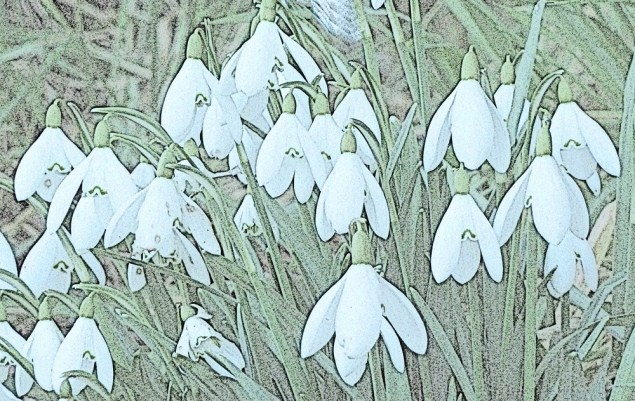 Lots of snowdrops in the hedgerows