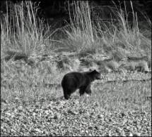 black bear b&w