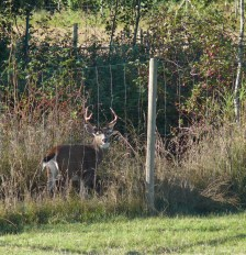 Stag in the garden