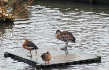 Ducks at Blakeney