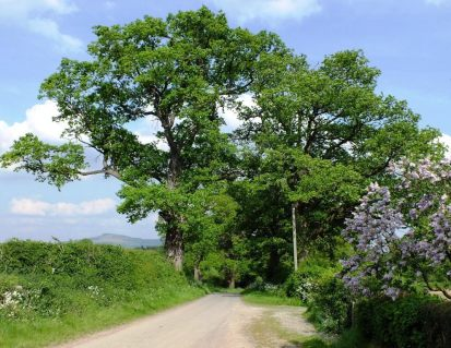 Lilac tree and hill of Clee