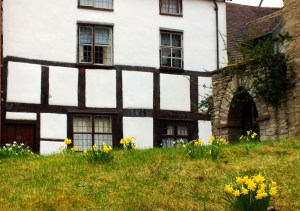 Daffodils replace snowdrops