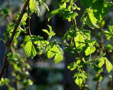 Light through new leaves