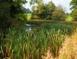 Bullrushes by the lake