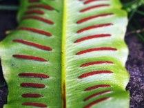 Spores on harts tongue / Asplenium scolopendrium