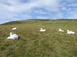 Sheep to sheep DSCF6780 by Claudia Borgna