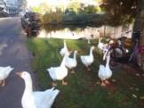 Aggressive geese on the Noordsingel