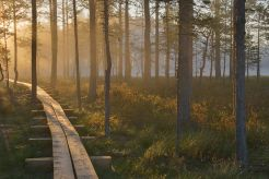 Sunrise in Viru bog, Estonia (Wikipedia)