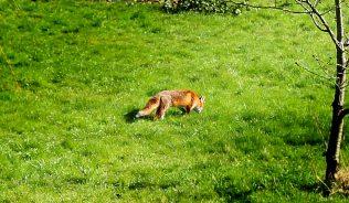 Fox in Smallford
