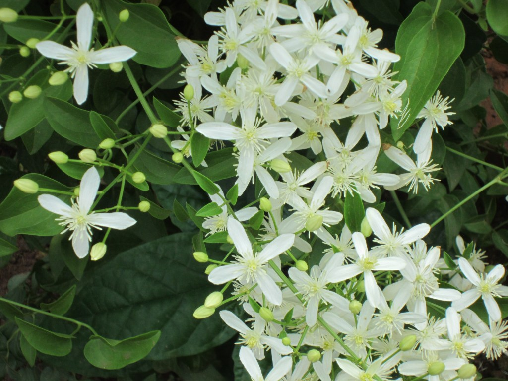 Clematis  A Climbing Vine Of Spectacular Flowers