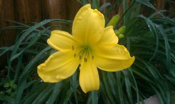 Bok Garden Lily