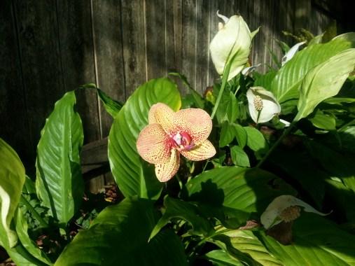 Phalaenopsis between Peace Lilies, 4/25/14
