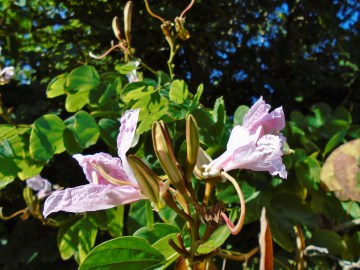 Bauhinia purpurea 1