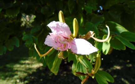 Bauhinia purpurea 2