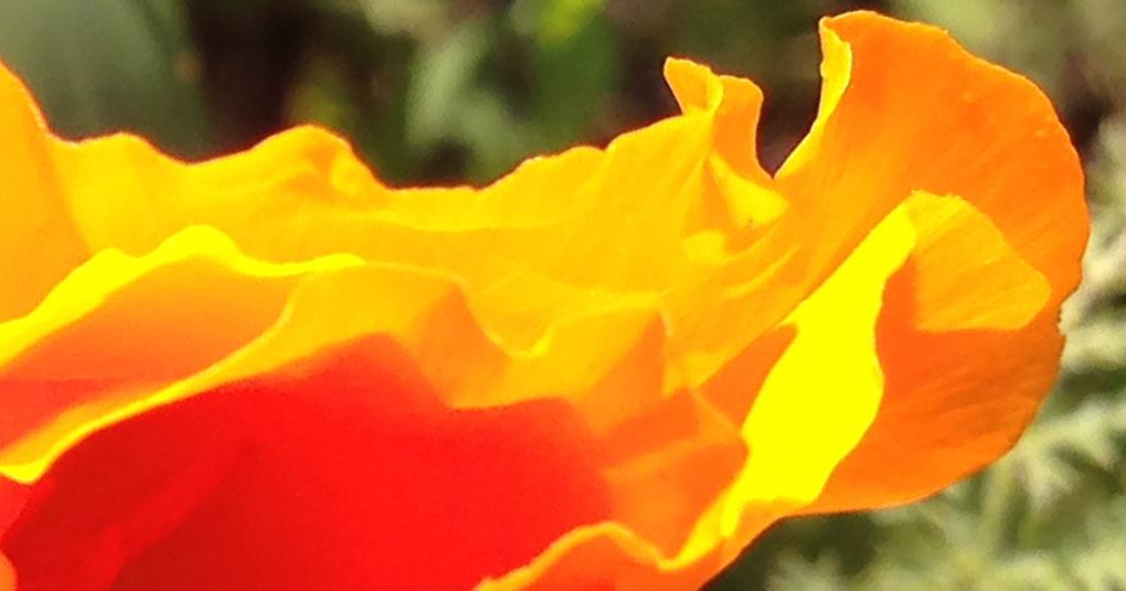 California Poppy Gilroy Ca small life details