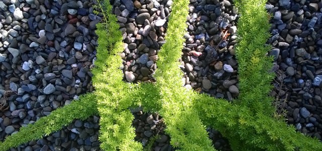 Asparagus Fern Fronds over Gravel Santa Cruz CA