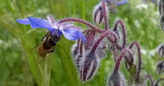 Bee on Borage Garden Montara CA