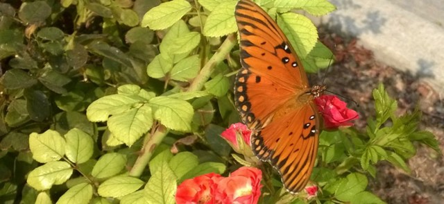Butterfly on Rose Davis CA