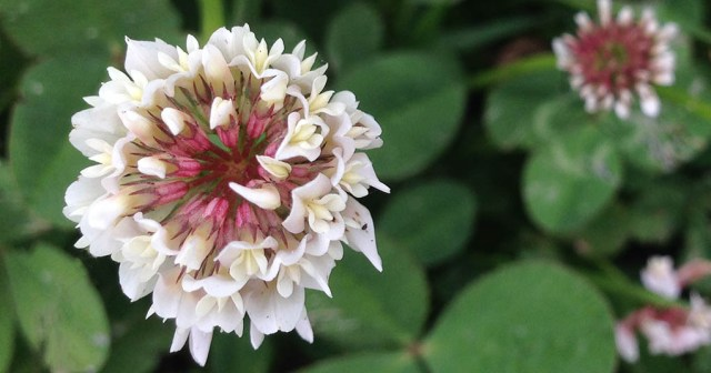 Clover Flower Montara CA