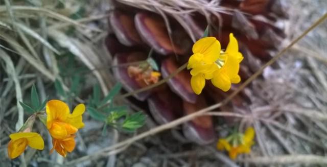 Yellow wildflowers with Pine Cone Montara CA