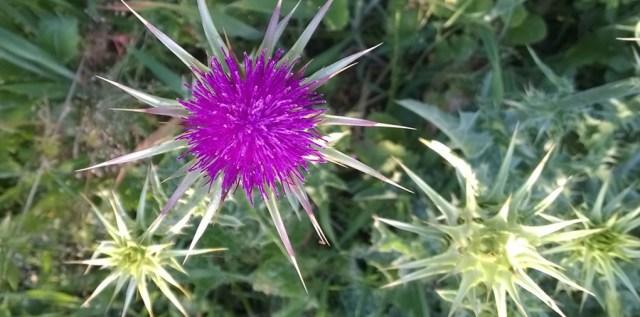 Thistle Flower Fireworks Montara CA