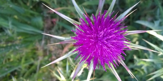 Thistle Flower Montara CA