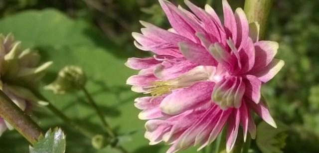 Columbine Flower Aquilegia