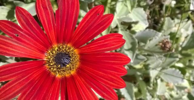 Red Arctotis Daisy Montara CA