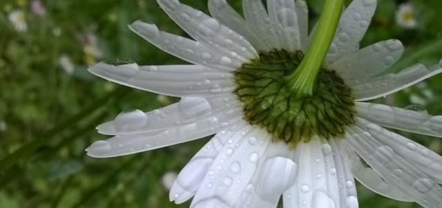 Shasta Daisy Bowed by the Rain