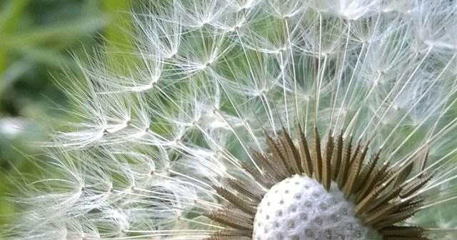Dandelion Seed Head Montara CA