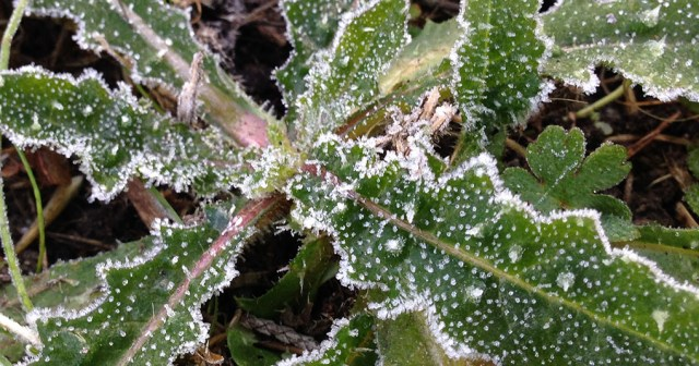 Frost on a Weed Montara CA small life details