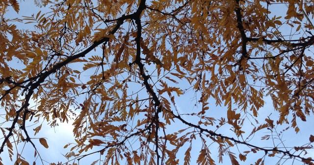Yellow Leaves Against the Sky Denver CO